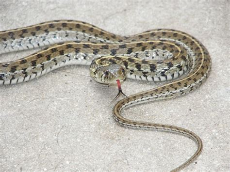 Garter Snake Forum Blue Garter Snakes Live Fence San
