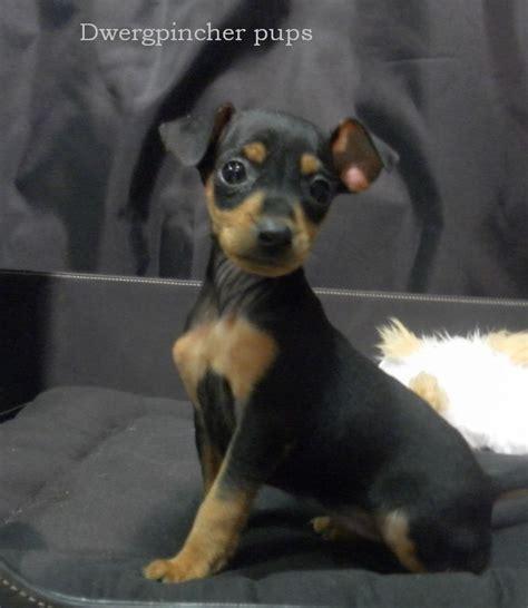 honden pups advertenties honden pups te koop vinden of honden pups advertenties honden pups te koop vinden of