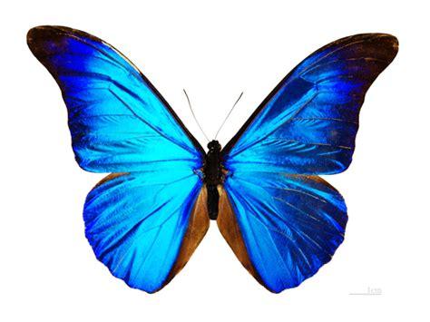 imagenes de mariposas negras grandes morpho una de las mariposas m 225 s grandes misteriosas y