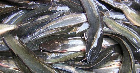 Ton Nasa Ikan panduan budidaya ikan lele peternakan perikanan