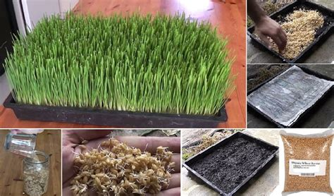 how to grow wheatgrass at home home design garden