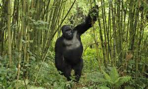 What do gorillas eat and other gorilla facts wwf