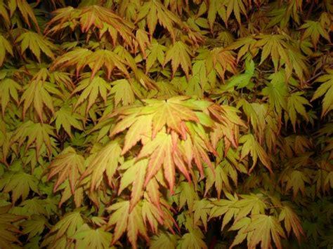 Magnolia Acer Palmatum Orange Dream Kleine Boomsoorten