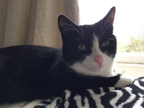 looking for cats and kittens for sale in chicago why not black and white cat looking for a loving home