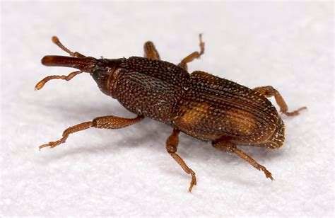 rice weevil wikipedia