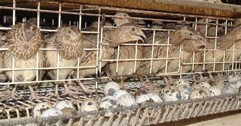 Harga Pakan Burung Puyuh beternak burung puyuh menguntungkan seputar hobi dunia satwa