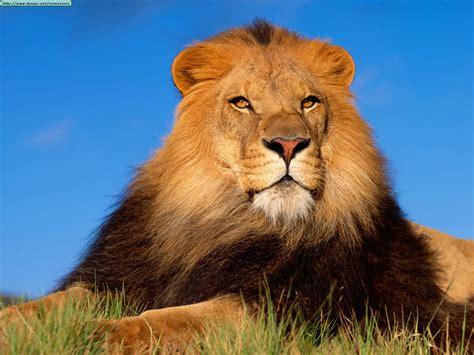 imagenes abstractas de leones fotos de leones taringa