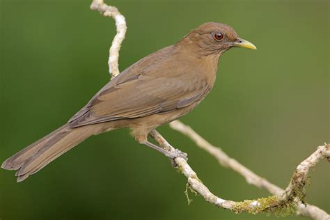 clay colored thrush clay colored thrush in lands in lands in