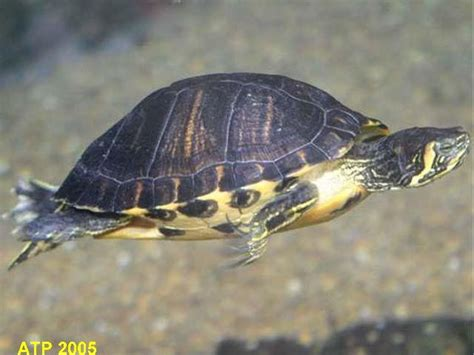 yellow bellied turtles london north london pets4homes