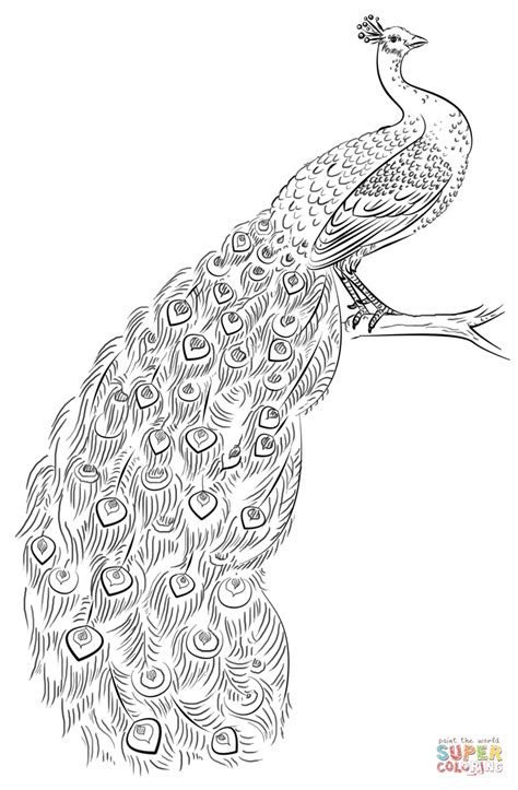 peacock coloring page free printable coloring pages