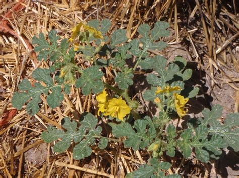 weeds in the backyard 4 feet tall weeds in the backyard 4 my backyard weeds buffalo burr or that spiny fake