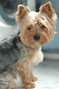 silky terrier with haircut yorkies hypoallergenic fuzzy friends pinterest