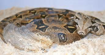 Why Snakes Shed by Boa Constrictor Shedding St 246 Ckl Die Nr 1 Boa