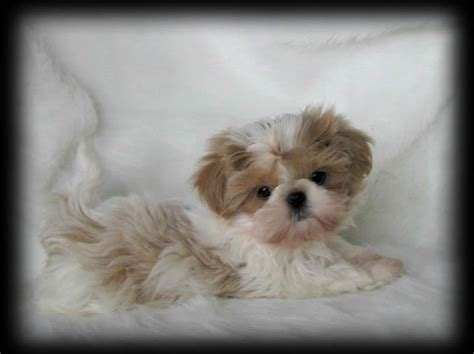 sweet tooth shih tzu 44 best adorable imperial shih tzus images on shih tzus animales and