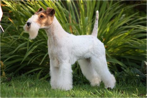 Wire Fox Terrier Shedding by Wire Fox Terrier Puppies Breeders Facts Pictures