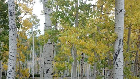 pando utahs  year  tree colony