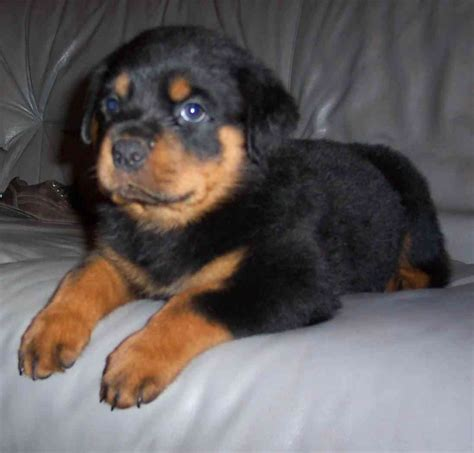 free puppy rottweiler puppies for adoption breeds picture