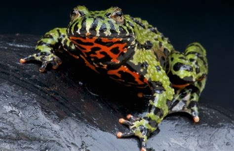 oriental fire bellied toad facts information hd pictures