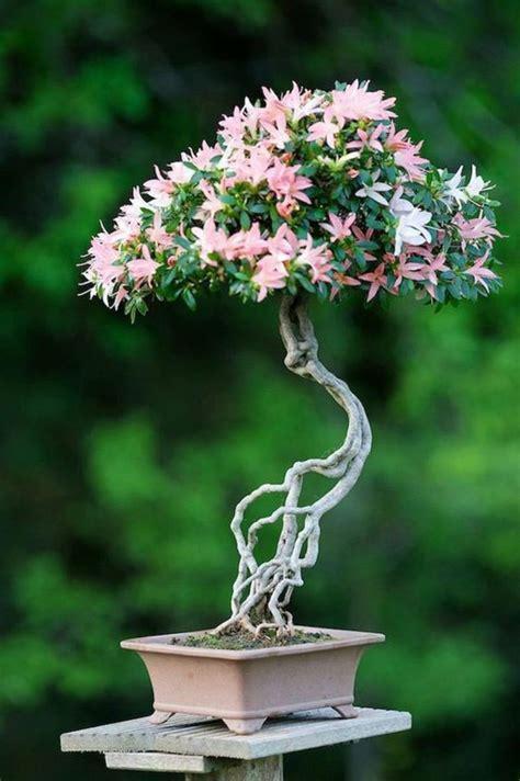 Indoor Bonsai Kaufen by 25 Best Ideas About Bonsai Baum On