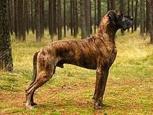 brindle colored dogs brindle