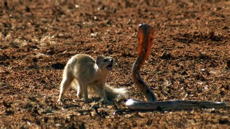 mongoose vs cobra snake mongoose vs cobra youtube