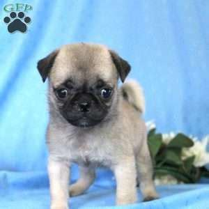 pug breeders in nj miniature pug puppies for sale in de md ny nj philly dc and baltimore