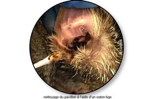 gale auriculaire chez le chat conseils v 233 t 233 rinaires