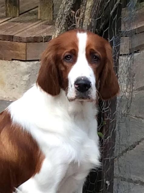 red setter dogs and puppies for sale irish red white setter puppies due stafford