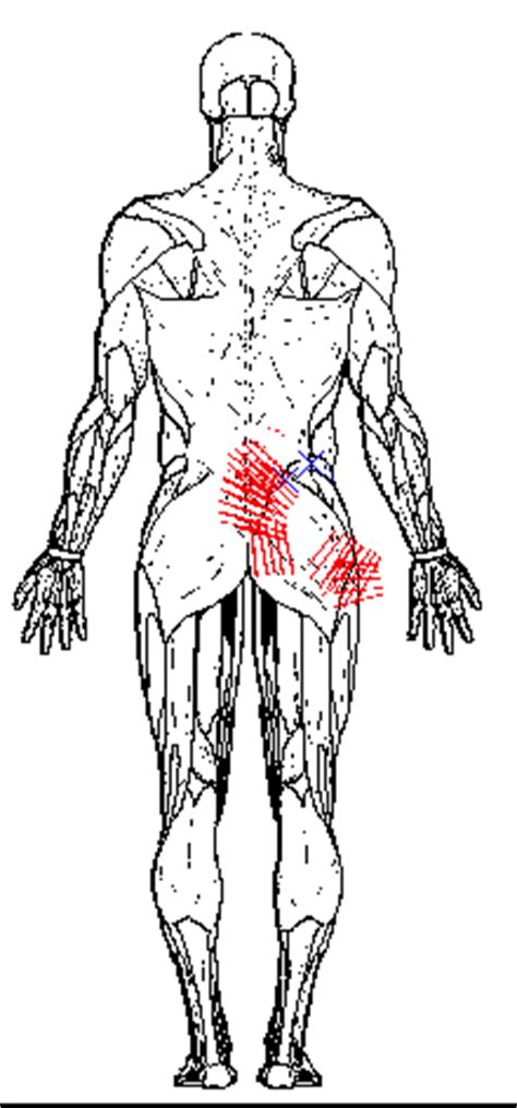 dolore muscolo interno coscia il gluteo medio il muscolo delle lombaggini punti