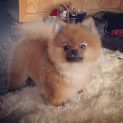 cute pomeranian haircuts 1000 images about pomeranian hair cuts on pinterest