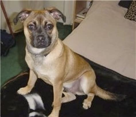 rat terrier and pug mix the puggat pug rat terrier mix at 10 months where we breeds picture
