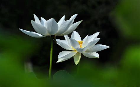 lotus desktop wallpaper beautiful flower hd wallpaper free desktop wallpaper