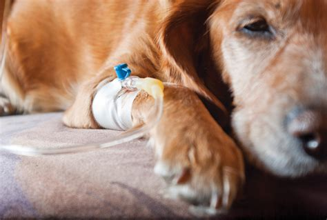 leptospirosis in dogs canine leptospirosisa perspective on recent trends today s veterinary practice