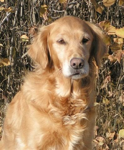 charmlee golden retrievers smoke ngold retrievers golden retrievers sask saskatchewan breed breeder