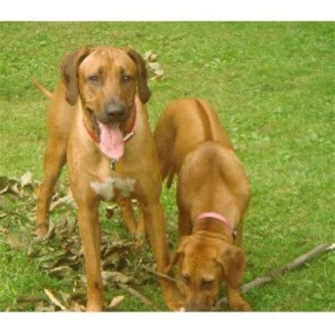 breeders in florida rhodesian ridgeback breeders in florida freedoglistings breeds picture