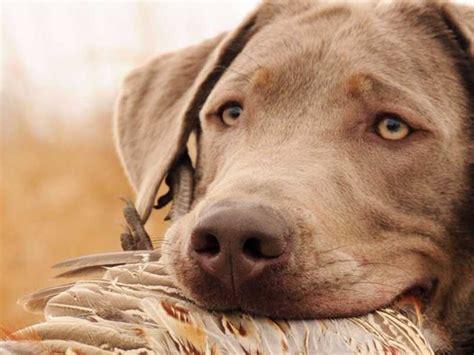 lab puppies kentucky kentucky labs labrador retriever puppies for sale