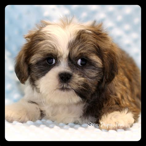 chocolate and white shih tzu shih tzu m chocolate white sold pups