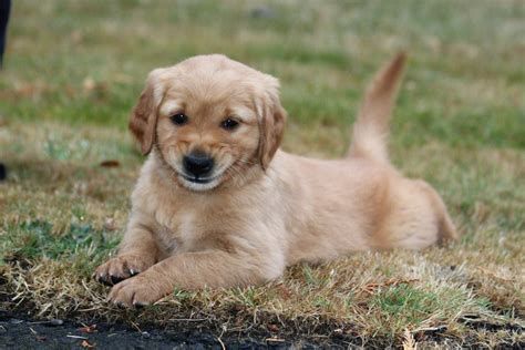 how to find a golden retriever puppy chet womach s new golden retriever puppy w pictures thedogtrainingsecret