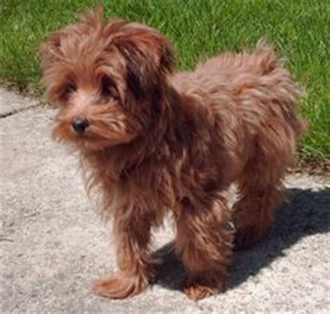 yorkie poo calendar 1000 images about yorkie poo haircuts on yorkie terrier and