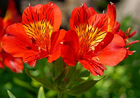 Beautiful Homes Interior by Flower Homes Alstroemeria Flowers