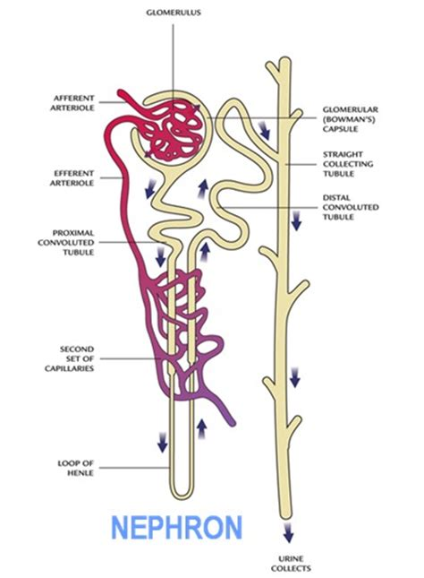 diagram of the urinary system diagram urinary system diagram diagram human human