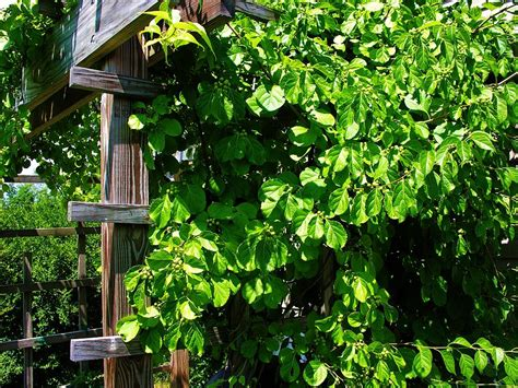 grape vines on a trellis photograph by sherman perry