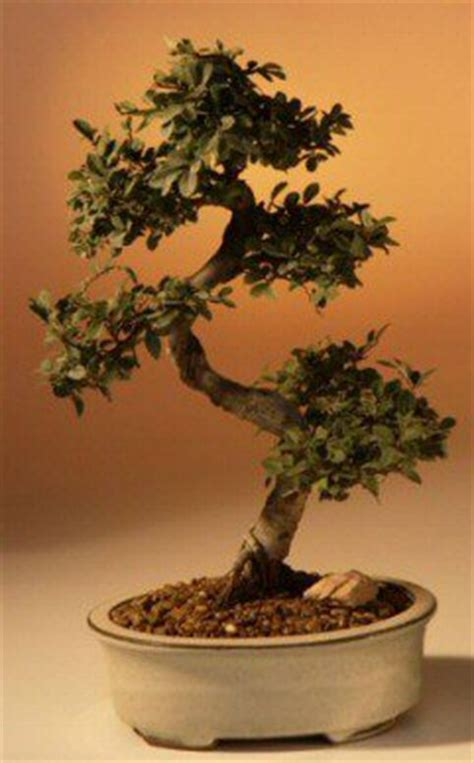 chinese elm bonsai tree largecurved trunk styleulmus