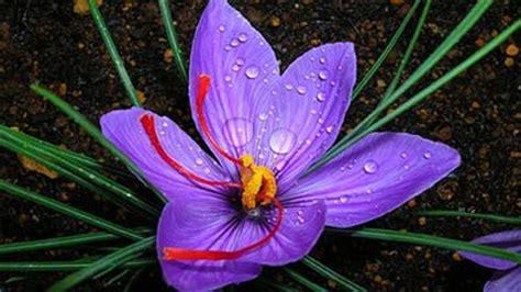 bunga termahal  dunia