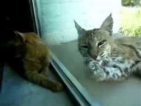 bobcat vs domestic cat images indoor cat and bobcat youtube