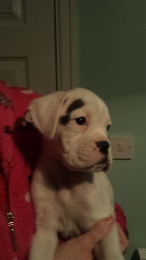 boxweiler puppies for sale boxer puppies sale breeds picture