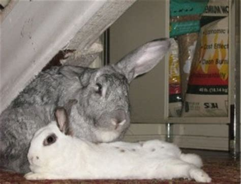 spayed cost spaying and neutering house rabbit society