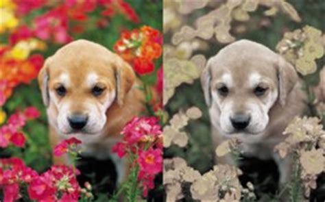 how do they seeing eye dogs vision what colors can dogs see and can they see in the