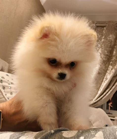 pomeranian puppies for sale lincolnshire kc pomeranian puppies for sale spalding lincolnshire pets4homes