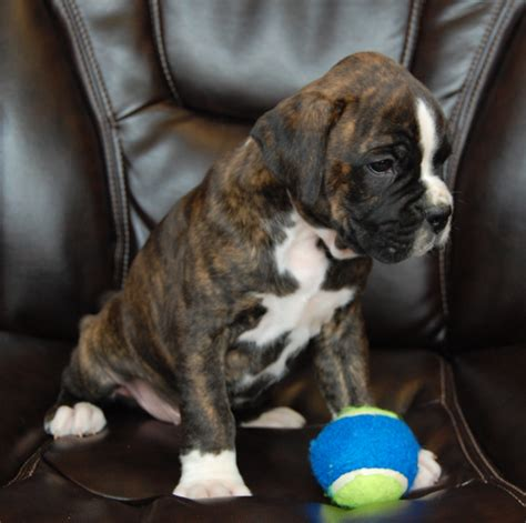 boxer colors fawn colors markings keefer kennels